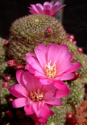 rebutia_perplexa_bloom