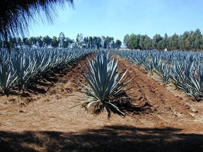 Tequilla_Agave04