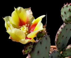 Opuntia_violacea_bloom7