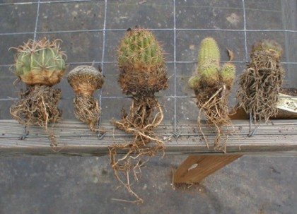 Cactus Roots Also Change Characteristics As The Water Supply Fluctuates After A Rainfall Existing Dehydrated Become More Conductive And New