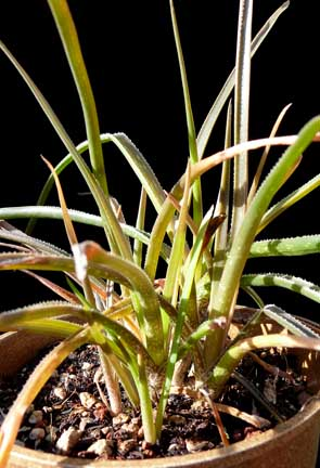 aloe_johnsons_hybrid