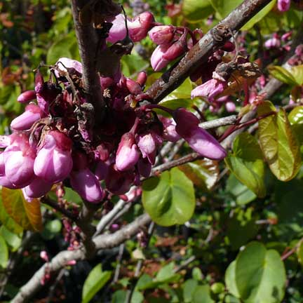 cercis_occidentalis_blooms2
