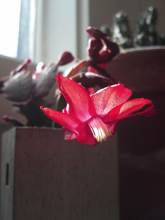 how to make a christmas cactus bloom