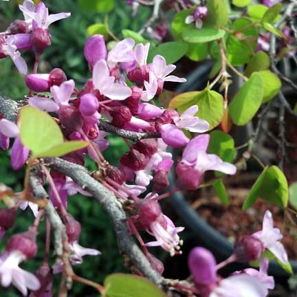 cercis_occidentalis_blooms3