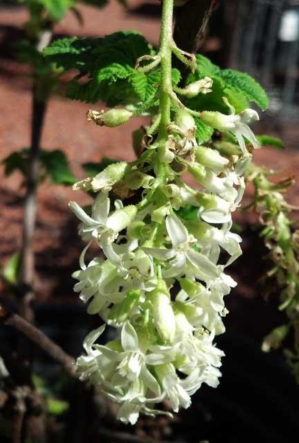 White flowering currant cactus jungle ribeswhiteicicle mightylinksfo