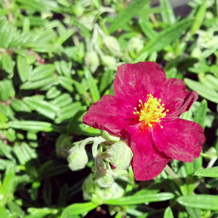 helianthemum_dazzler