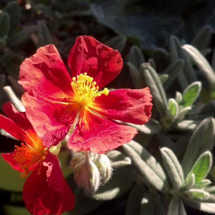 helianthemum_henfield_brilliant