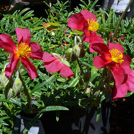 helianthemum_mesa_wine