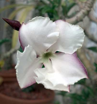pachypodium_saundersii8 - Copy