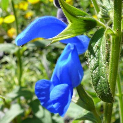 salvia_patens_royal_blue