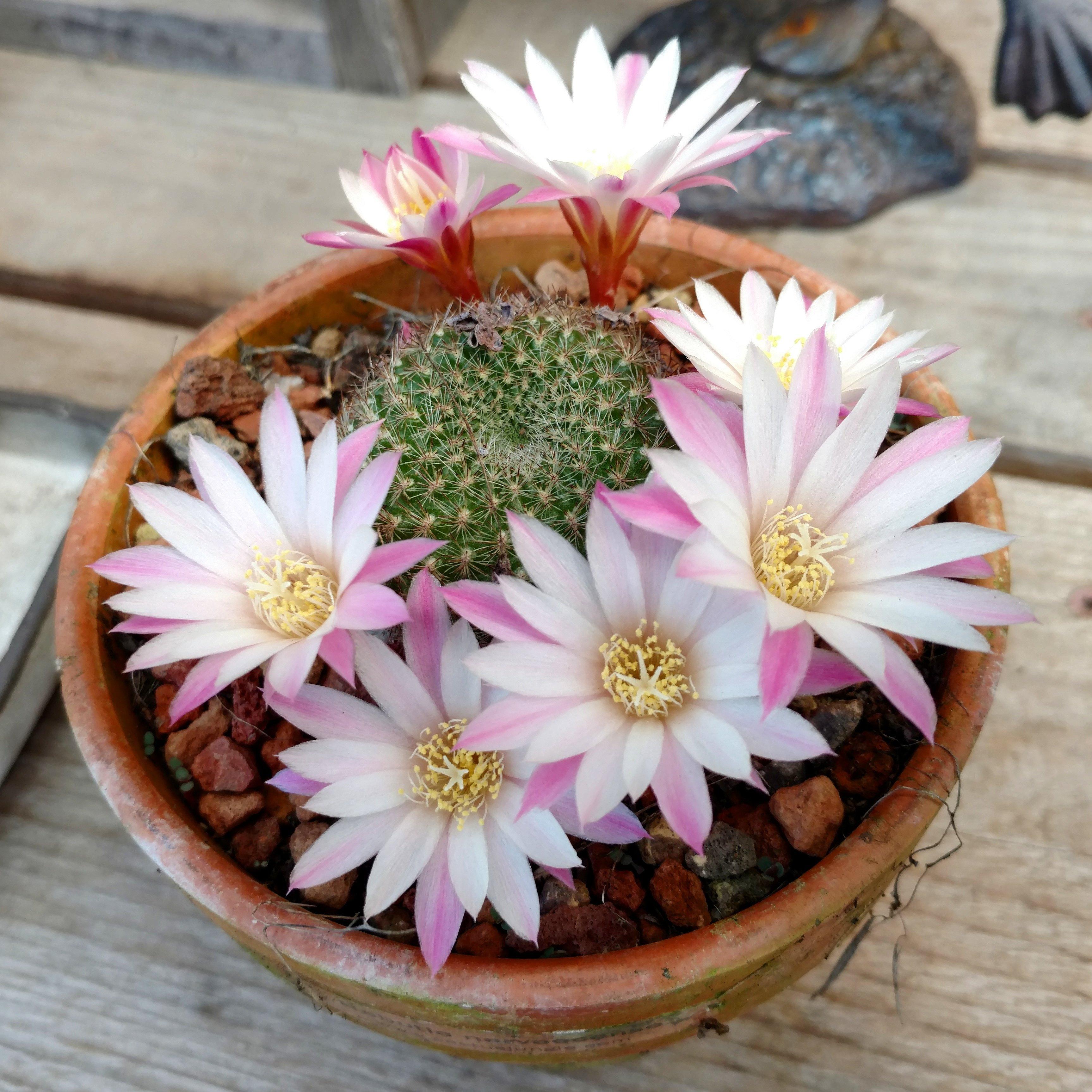 Spring Cactus Flowers Cactus Jungle