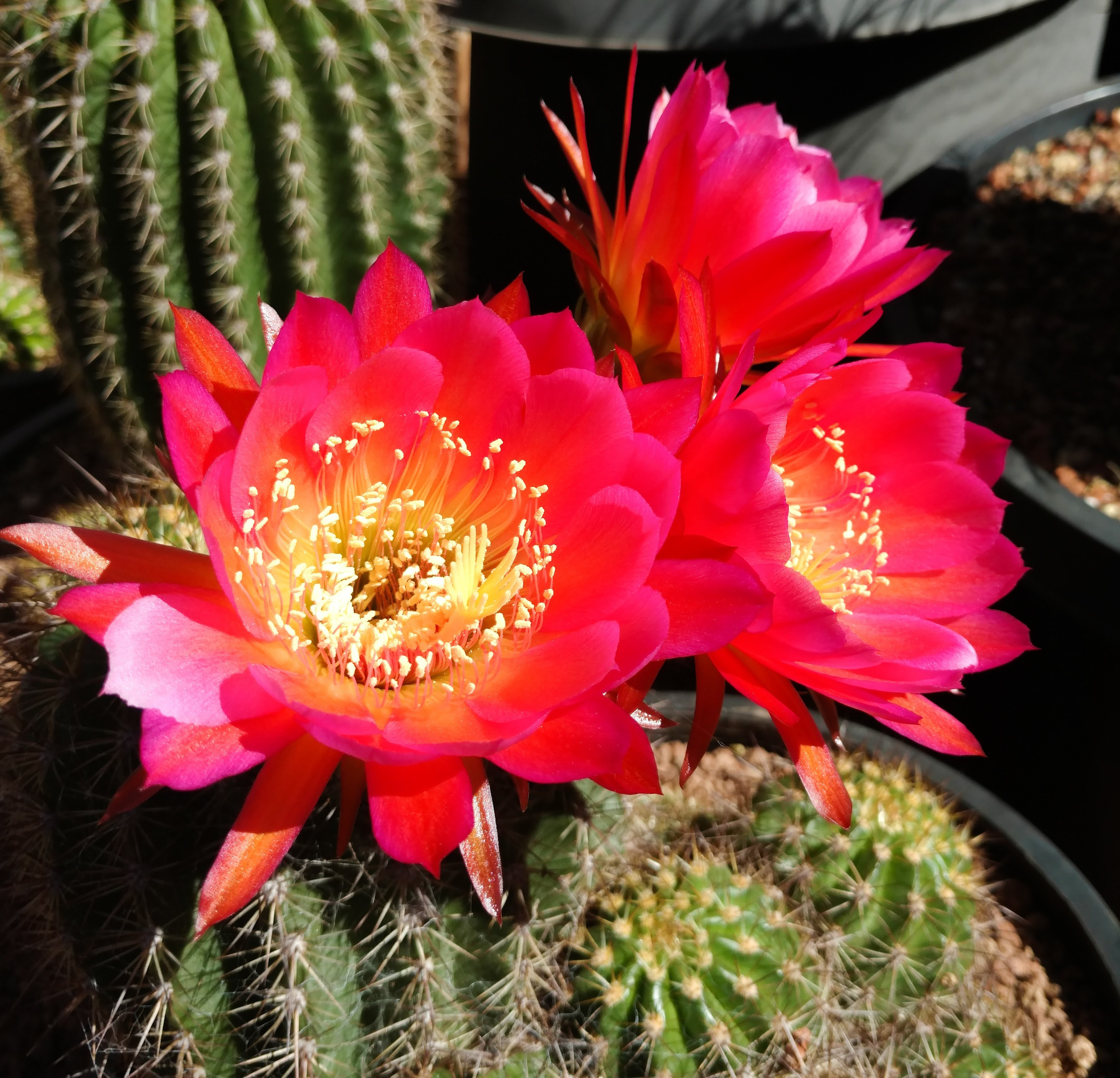 Cactus blog page 4 of 207 cactus jungle it must be spring we call this one echinopsis california rose mightylinksfo