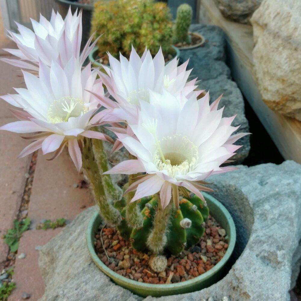 whitesloanea crassa cactus jungle